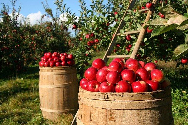 Jak właściwie przechowywać jabłka?